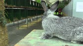 anlamlı : The breed of the giant rabbit chinchilla, the exhibition Stok Video