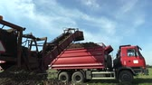sorting : OLOMOUC, CZECH REPUBLIC, OCTOBER 20, 2017: Harvesting sugar fresh beet Beta vulgaris in the field, loading conical tubers ripe, loader from a large pile plus sorting and removal truck to the warehouse Stock Footage