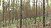 forest : Forest monoculture of pine Pinus sylvestris forest bark in the national nature reserve Vate pisky, expansive and partially invasive species, creates dominant society, extrudes other species of plants
