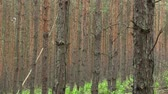 borovice : Forest monoculture of pine Pinus sylvestris forest bark in the national nature reserve Vate pisky, expansive and partially invasive species, creates dominant society, extrudes other species of plants