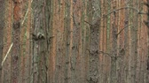 ekologia : Forest monoculture of pine Pinus sylvestris forest bark in the national nature reserve Vate pisky, expansive and partially invasive species, creates dominant society, extrudes other species of plants
