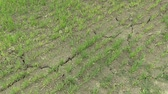 fodder : Very drought dry field land with wheat Triticum aestivum, drying up the soil cracked, climate change, environmental disaster and earth cracks, death for plants and animals, degradation