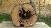 жук : Pear Pyrus communis attacked by wood-destroying insects, tree cut trunk very attacked woodworm by larvae eg goat moth Cossus cossus caterpillar and others, danger of injury, white satin moth Стоковые видеозаписи