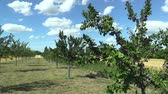 odolný : Plum Prunus domestica, variety Jojo, tree orchard homegrown, fruits ripen, blue sky with clouds and wind in branches and leaves garden, beautiful landscape Hana, fruits are for traditional slivovitz Dostupné videozáznamy