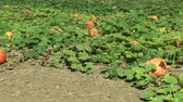 Хэллоуин : Field with organic pumpkin Cucurbita pepo bio crops before harvesting, orange gourds agriculture and farming, natural vegetables and excellent varieties, cultivated orange ball Europe