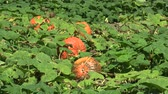 původní : Field with organic pumpkin Cucurbita pepo bio crops before harvesting, orange gourds agriculture and farming, natural vegetables and excellent varieties, cultivated orange ball, creeping plant