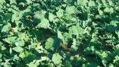 масличные культуры : Oilseed rape Brassica winter detail for green fertilization mulch field and soil nutrition for crops and green manure farming organic, important for agricultural production, cover crop agricultute