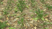 Very drought dry field land with beet sugar Beta vulgaris altissima, drying up the soil, climate change, environmental disaster, death for plants and animals, soil degradation, desertification Vídeos