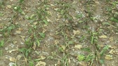 fodder : Very drought dry field land with beet sugar Beta vulgaris altissima, drying up the soil, climate change, environmental disaster, death for plants and animals, soil degradation, desertification Stock Footage