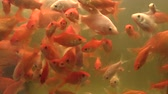 The goldfish golden carassius auratus in aquarium oxygenated water and white form, breeding for conservation of genofond and genetic information, ornamental fish, Asia China Vídeos
