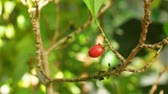 Erythroxylum coca, coca bush in a flowerpot in a tropical greenhouse, science research, plant ripe red fruit, leaf and leaves green, extraction alkaloids, South America
