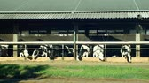 Dairy cows feeding in a barn, cows eat high-quality corn silage feed, cowshed is a modern and not bricked, Holstein Friesian cattle breed milk, Holsteins in North America, the term Friesians in UK Vídeos