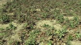 Cardus marianus very drought dry field land with plant milk thistle Silybum marianum drying up the soil cracked, climate change, environmental disaster and earth cracks, death for plants Vídeos