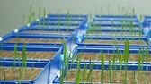Greenhouse experimental cultivation technologically for scientific research of barley Hordeum vulgare and wheat Triticum durum, genetic science model material, seedlings plant flowerpot Stock Footage