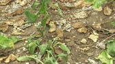 Very drought dry field land with beet sugar Beta vulgaris altissima, drying up the soil, climate change, environmental disaster, death for plants and animals, soil degradation, desertification Stock Footage