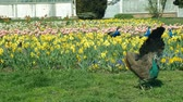 Peacock Pavo cristatus and Indian blue peafowl male animal and guinea fowl and helmeted guineafowl Numida meleagris birds ornamental in the park with tulips and daffodils, national bird of India