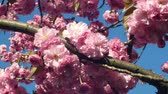 Hill cherry, oriental cherry ornamental fruit cherry, Prunus serrulata. Japanese fruits Japan called sakuranbo. Gardening horticulture, parks or alleys. East Asian cherry blooming bloom pink