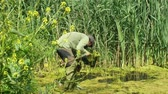 rubber plant : OLOMOUC, CZECH REPUBLIC, MAY 30, 2019: Zoologist man in capturing or snagging amphibians for monitoring endangered species frogs, special net landing net. Rubber boots into water