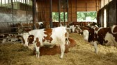 OLOMOUC, CZECH REPUBLIC, JUNE 11, 2019: Cows on organic farm farming, feed hay grass silage pets, dairy cows, dairy cattle breeds, cowshed feeding, Fleckvieh breed traditional, suitable for milk
