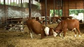 OLOMOUC, CZECH REPUBLIC, JUNE 11, 2019: Cows on organic farm farming, feed hay grass silage pets, dairy cows, dairy cattle breeds, cowshed feeding, Fleckvieh breed traditional, genetic defect of eye Stok Video