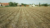 durva : Drought dry field land with potato leaves Solanum tuberosum potatoes, drying up the soil cracked, climate change, environmental disaster and earth cracks, degradation agricultural problem harvest