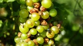 vitaminok : Ripe grapes and ripeness in viticulture, white wine and common green bottle fly Lucilia sericata blowfly or blow flies insect. Overripe fruits with green and blue flies, agriculture and harvest fruit