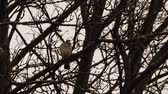 turtledove : single dove on tree branches on a rainy day.
