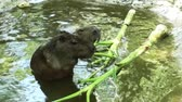 mouse : Capybara eating food Stock Footage