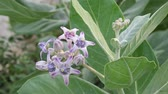 windy : calotropis or crown flowers