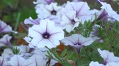 flowerbeds : White and purple striped petunia flowers in the wind. Garden flowers beautiful close-up, zoom-in. Stock Footage