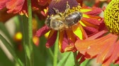 flower extract : Bee collecting nectar from a red flower on a green backround . Vibrant close-up footage.