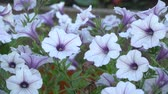 flowerbeds : White and purple striped petunia flowers in the wind. Garden flowers beautiful close-up.