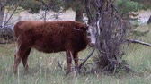 vaca lechera : Red and white cow grazing in pine forest on a summer day. Archivo de Video
