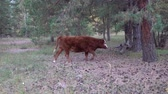 アルタイ : Red and white cow grazing in pine forest on a summer day. 動画素材