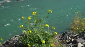 smaragd : Young yellow blossoms with fresh green leaves on emerald mountain river background.