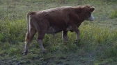 terneros : Brown cow walking along the river on an bright day. Archivo de Video