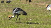 feathering : Balearica regulorum Grey Crowned Crane gibbericeps