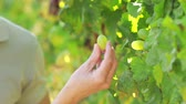 uva passa : Close up couple hands picking green grapes in the vineyard