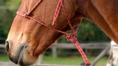 drooling : Close u view of a horse head in slow-motion