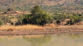 poça de água : Elephants drinking from watering hole in high quality