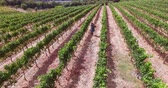 field : Drone footage of wine farm in high quality format