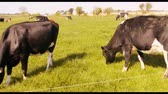 agriculture : Herd of cattles grazing in the field on a sunny day 4k