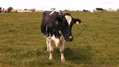 фехтование : Cow in a field on a sunny day in the countryside 4k