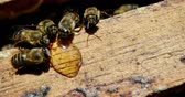 fragility : Close-up of honey bees feeding on honey in apiary Stock Footage