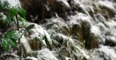 nevando : Green leaves covered with snow during winter