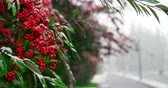 tazelik : Close-up of snow falling on red berry tree during winter