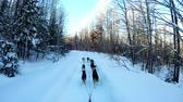 sanki : Group of Siberian dog pulling sleigh