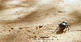 жук : Close-up of beetle crawling on sand 4k Стоковые видеозаписи