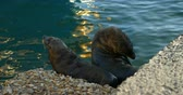 sealife : Close-up of sea lions at the dock 4k