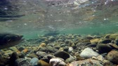 barış : Close-up of fish swimming under mountain river 4k Stok Video